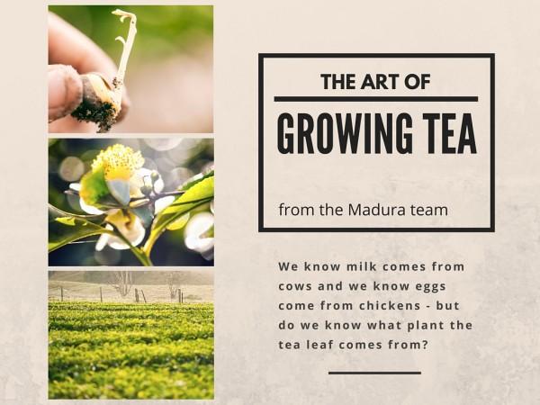 growing tea